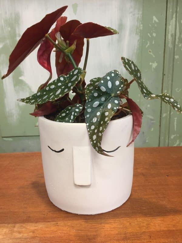 Stippenbegonia met bloempot